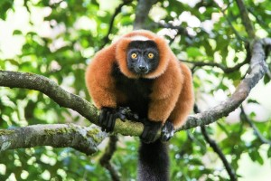 The endemic red ruffed lemur