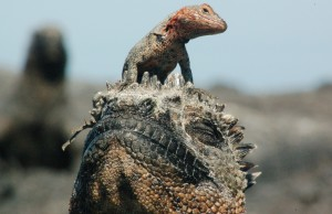 A lava lizard on the head of an endemic Galapagos Iguana