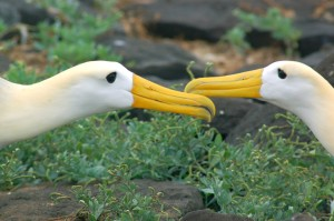 Waved Albatross engaged in their mating ritual on Espanola Island